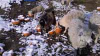 Goats Love Pumpkin