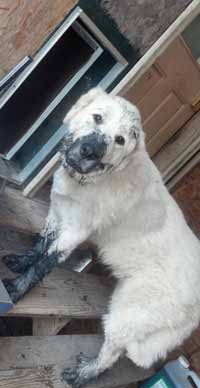 Baxter likes to snort mud